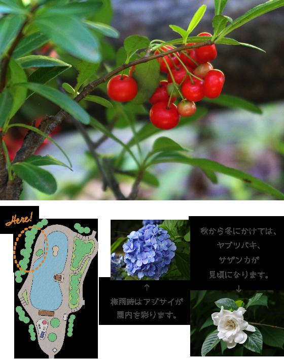 梅雨時はアジサイが園内を彩ります。秋から冬にかけては、ヤブツバキ、サザンカが見頃になります。