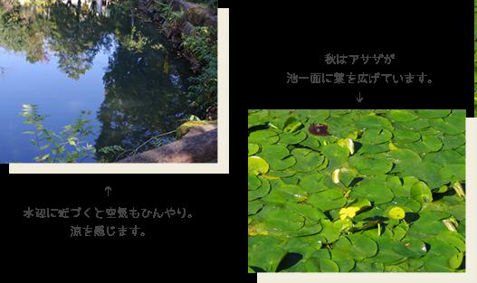 水辺に近づくと空気もひんやり。涼を感じます。秋はアサザが池一面に葉を広げています。