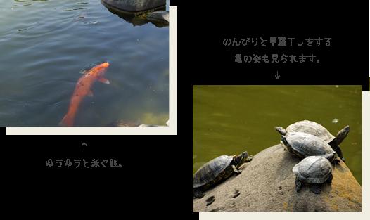 ゆうゆうと泳ぐ鯉。のんびりと甲羅干しをする亀の姿も見られます。