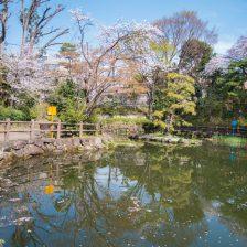 鍋島松濤公園の桜
