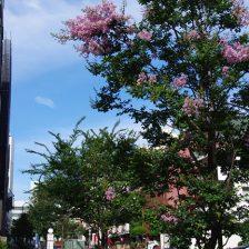 街路樹の百日紅が咲き始めました。