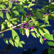 松濤公園の小紫(コムラサキ)